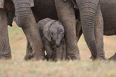 African Elephant Calf 1
