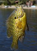 foto of bluegill  - Bluegill caught on worm and hook in summer - JPG