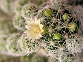 Small Cactus Flower   poster