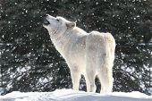 White Wolf In Snow