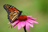 stock photo of monarch butterfly  - close up of a beautiful monarch butterfly on a pink flower - JPG