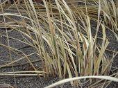 Winter Beach Grass