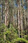 picture of eucalyptus trees  - tall eucalypt rainforest black spur along maroondah highway victoria australia - JPG