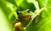 Green Frog Curious Look poster