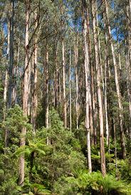 stock photo of eucalyptus trees  - tall eucalypt rainforest black spur along maroondah highway victoria australia - JPG