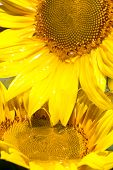 Oil Flowing From Sunflower Head