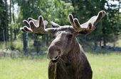 Close Up Of A Moose in Sweden