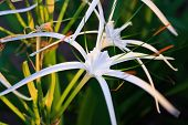 picture of sand lilies  - lily five - JPG