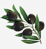 picture of olive branch  - illustration of an olive branch in the vector - JPG