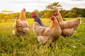A Flock Of Chickens Looking For Food poster
