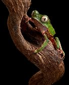 frog with big eyes on branch in Brazil amazon rain forest tree frog Phyllomedusa vailanti at night i