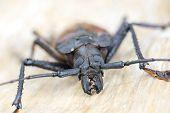 Giant Fijian Longhorn Beetle From Island Koh Phangan, Thailand. Closeup, Macro. Giant Fijian Long-ho poster