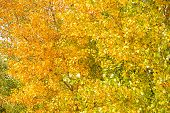 Yellow And Green Poplar Leaves Branches. Autumn Season. Bright Autumn Leaves. Fall Leaf Color Phenom poster