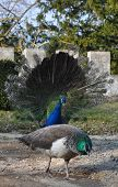 Peacock wooing
