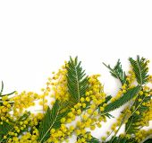 Background With Branch Of Mimosa