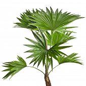 Palmeira Livistona Rotundifolia isolada no branco