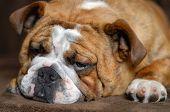 Bulldog 9 Months Old