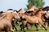 Group of horses runs gallop in meadow
