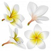 Frangipani (Plumeria). Hawaii, Bali (Indonesia), Shri-Lanka tropical necklace flowers. Rasterized version
