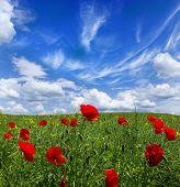 Papoilas vermelhas em campo verde