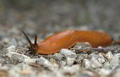Creeping Orange Slug