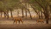Amazing Tiger In The Nature Habitat. Tigers Pose During The Golden Light Time. Wildlife Scene With D poster