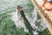 Tarpon feeding in the Keys in Florida. Close up of man hand feeding big tarpons fish jumping out of  poster
