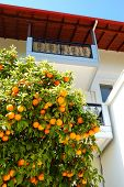 House At The Greek Village And Orange Tree With Fruits, Pieria, Greece
