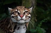 image of ocelot  - The Ocelot a big cat from Central and South America - JPG