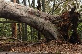 Brisbane, Australia - January 28 : Tree Fallen Across Road During  Tropical Cyclone Oswald On Januar