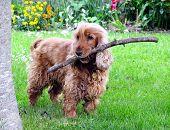 Dog with Stick