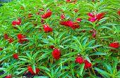 Red Garden Balsam, Impatiens Balsamina Linn Flower