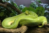 stock photo of green tree python  - Green Tree Python - JPG