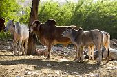 Travel India: Group Of Holy Cows In Pushkar