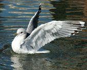 Seagull Exultant