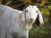 Goat Chewing