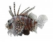 Lionfish In White Back