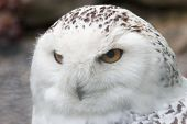 picture of hedwig  - Snowy owl sitting quietly looking out for prey - JPG