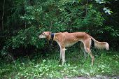Brown Saluki