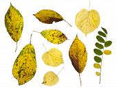 Autumn Leafs Isolated On White