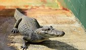 picture of alligators  - Alligators in the Everglades farm - JPG