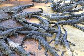 stock photo of alligators  - Alligators in the Everglades farm - JPG