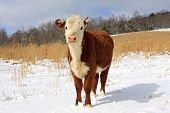foto of hereford  - A young Hereford steer  - JPG