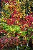 autumn leaves on maple trees