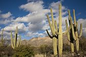 foto of cactus  - Saguaro cactus on the mountainside in Tuscon - JPG