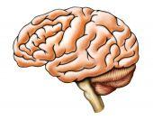 stock photo of temporal lobe  - Human brain anatomy side view - JPG