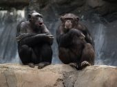 stock photo of zoo animals  - Chimpanzees with facial expressions taken at the Los Angeles Zoo on March 13 2006 - JPG