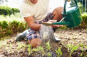 Close Up Of Man Watering Seedlings In Ground On Allotment