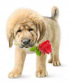 Tibetan Mastiff Puppy With Red Rose
