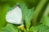 Appias Sylvia - Male Woodland Albatross White Butterfly